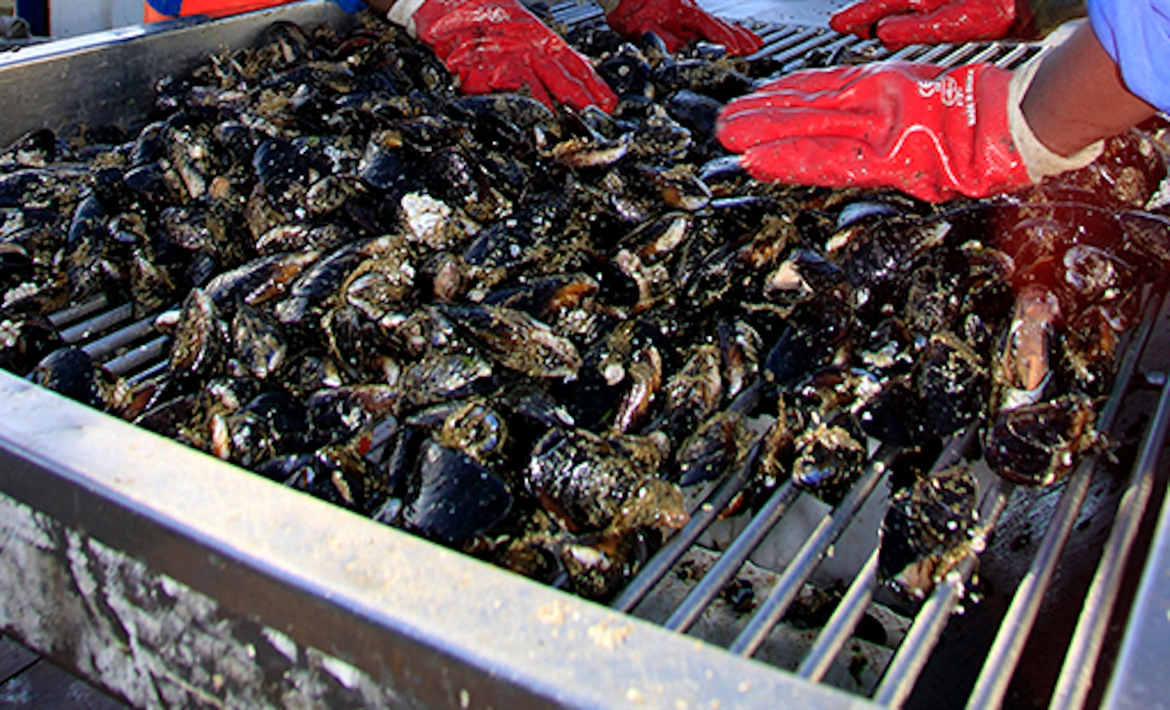 The farming of Mussels benefits both worlds